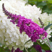 'Miss Ruby' - Butterfly bush - Buddleia x