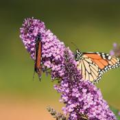 English Butterfly™ Peacock™ - Butterfly Bush - Buddleia davidii