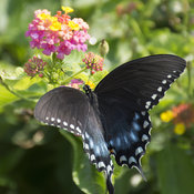butterfly_swallowtail_on_lantana_pw1_4x5.jpg