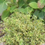 buxus_wedding_ring_img_9111_1.jpg