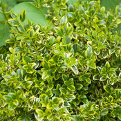 Wedding Ring® - Boxwood - Buxus microphylla var. koreana
