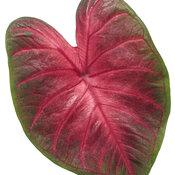 caladium_heart_to_heart_hot_flash_macro_02.jpg