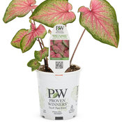 caladium_heart_to_heart_tickle_me_pink_1-qt.jpg