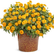 calendula_lady_godiva_orange.jpg