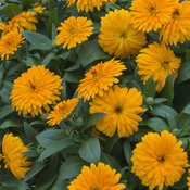calendula_lady_godiva_orange_closeup.jpg