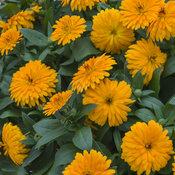 calendula_lady_godiva_orange_closeup.jpg
