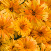 calendula_lady_godiva_orange_tag_.jpg