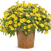 calendula_lady_godiva_yellow_mono.jpg