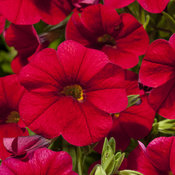 Cruze™ Red - Calibrachoa hybrid
