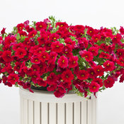 calibrachoa_cruze_red_46.jpg