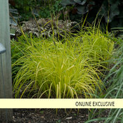 'Bowles Golden' - Gold Sedge - Carex elata