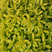 caryopteris_sunshine_blue_two_yellow_leaf.jpg