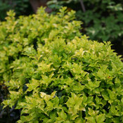 Pharos Gold® - Blue Holly - Ilex x meserveae