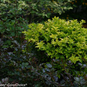 Castle Gold Holly