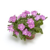 catharanthus_corar_cascade_lavender_with_eye.jpg
