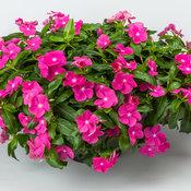 catharanthus_corar_cascade_violet.jpg