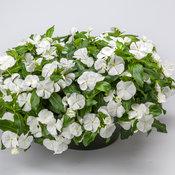catharanthus_corar_cascade_white.jpg