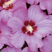 Rose Satin® - Rose of Sharon - Hibiscus syriacus