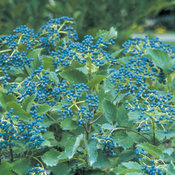 Blue Muffin® - Arrowwood Viburnum - Viburnum dentatum