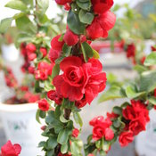 chaenomeles_double_play_scarlet_closeup_stem.jpg