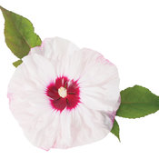 cherry_cheesecake_hibiscus_w_foliage.jpg