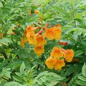 Chicklet™ Orange - Esperanza - Tecoma x