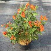chicklet-orange-tecoma-3.jpg