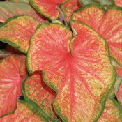 Heart to Heart™ ''Chinook'' - Sun or Shade Caladium - Caladium hortulanum