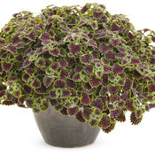 chocolate_drop_coleus_01.jpg