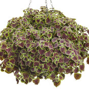 chocolate_drop_coleus_02.jpg