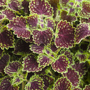 chocolate_drop_coleus_03.jpg