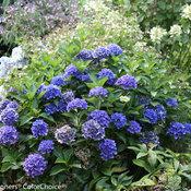 Cityline® Venice - Bigleaf Hydrangea - Hydrangea macrophylla