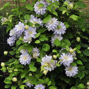 clematis_diamond_ball_-.jpg