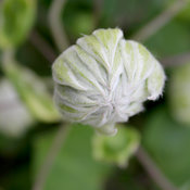 'Diamond Ball' Clematis