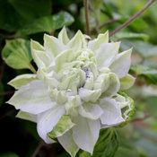 clematis_diamond_ball_-5517.jpg