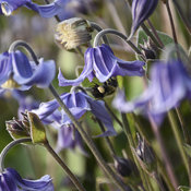 clematis_stand_by_me_cjw18_1.jpg