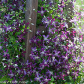clematis_sweet_summer_love-2365.jpg