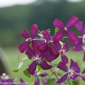 clematis_sweet_summer_love-3638.jpg
