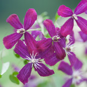clematis_sweet_summer_love-3641.jpg