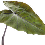 colocasia_heart_of_the_jungle_macro_01.jpg