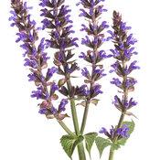 color_spires_violet_riot_salvia_01.jpg