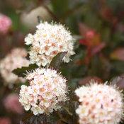 coppertina_physocarpus-2079.jpg