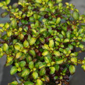 Waxwing™ Lime -  Mirror Bush - Coprosma repens