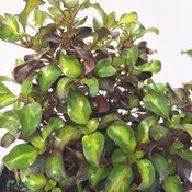 coprosma_wax_wings_lime_3.jpg