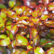 coprosma_wax_wings_orange_3.jpg