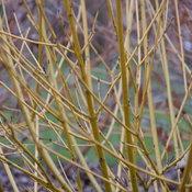 Arctic Fire® Yellow - Red-Osier Dogwood - Cornus stolonifera