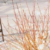 Arctic Sun Cornus in snow