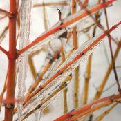 cornus_arctic_sun_7044_ice_crop.jpg