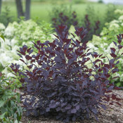 Winecraft Black® - Smokebush - Cotinus coggygria