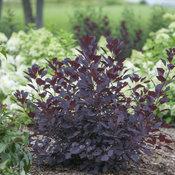 Winecraft Black® - Smokebush - Cotinus coggygria